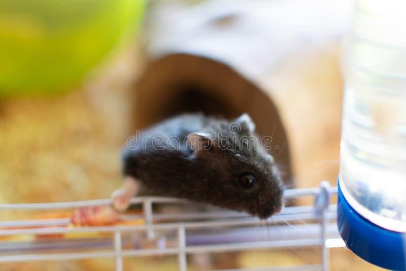 Hamster noir dans la cage partant de la cage photographie stock