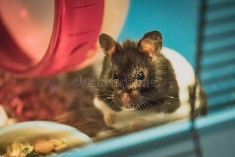 Hamster novo, fêmea visto olhar o fotógrafo dentro de sua gaiola imagens de stock