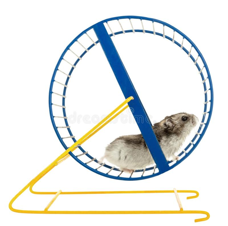 Free Hamster On A Wheel Isolated Royalty Free Stock Image - 113055426