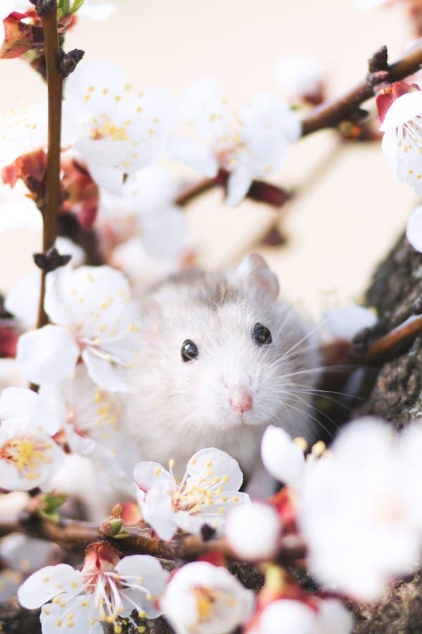 Hamster op een boom onder bloeiende takken stock fotografie