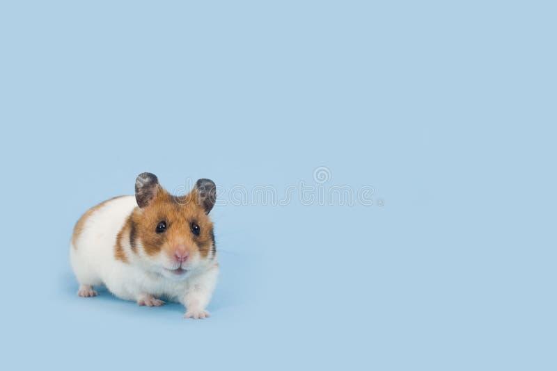 Hamster over pale blue background stock image