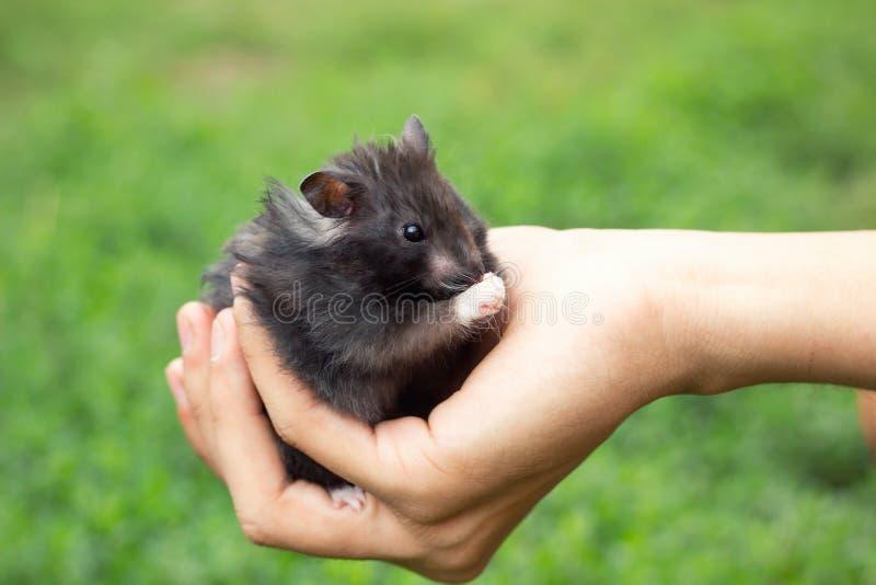 Hamster pelucheux noir à disposition, photographie stock libre de droits