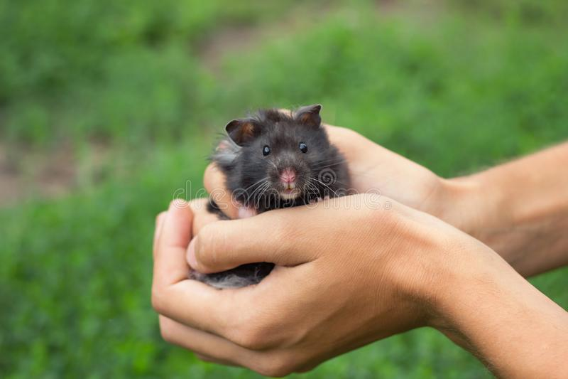 Hamster pelucheux noir à disposition, photo stock
