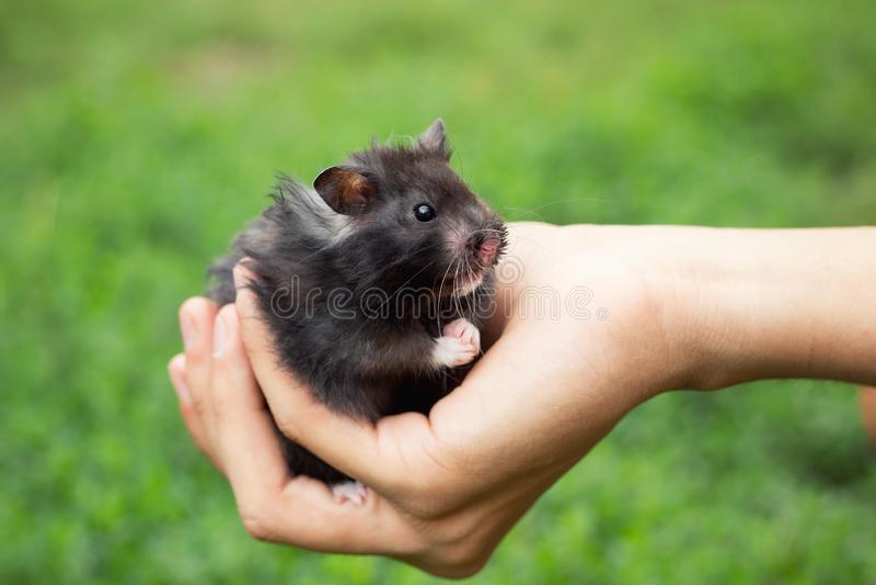 Hamster pelucheux noir à disposition, photos libres de droits