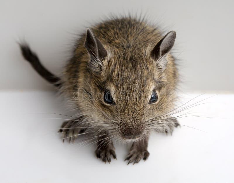 Hamster pequeno imagens de stock