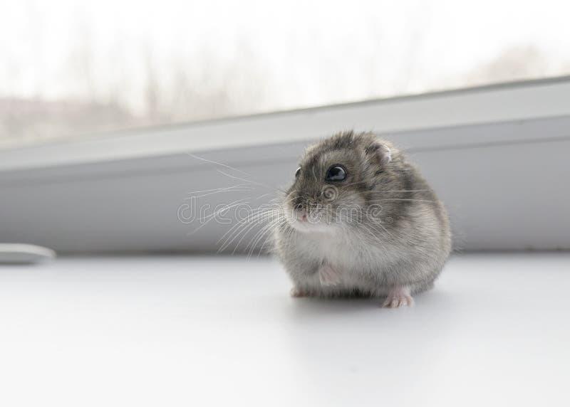 Hamster pequeno do anão imagem de stock royalty free