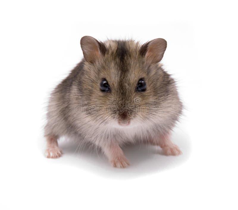 Hamster pequeno do anão foto de stock royalty free