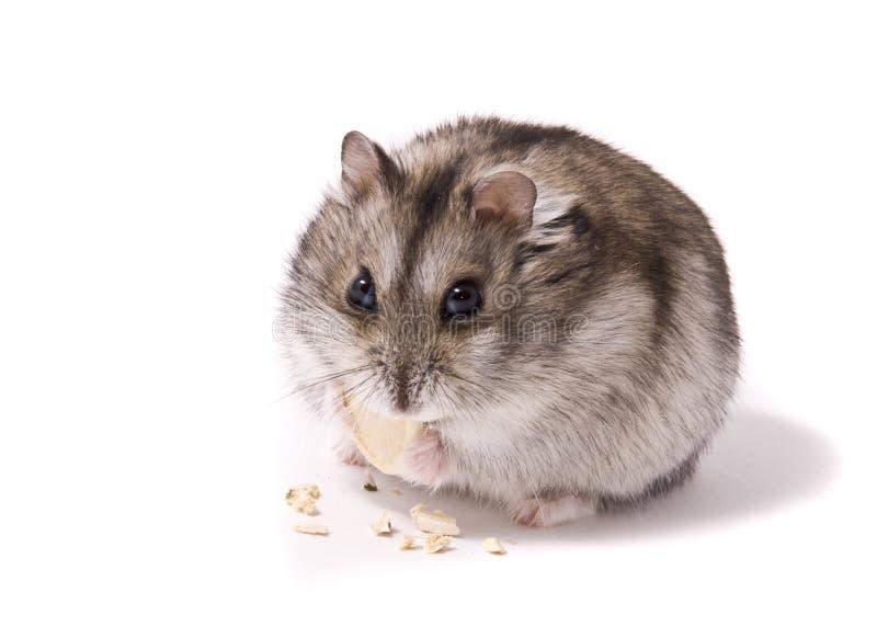 Hamster pequeno do anão que come a semente de abóbora imagem de stock