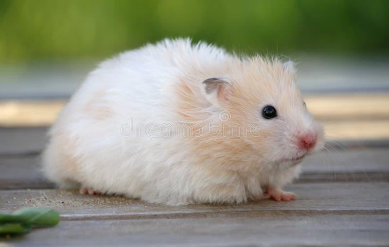 Hamster pour une promenade photo libre de droits
