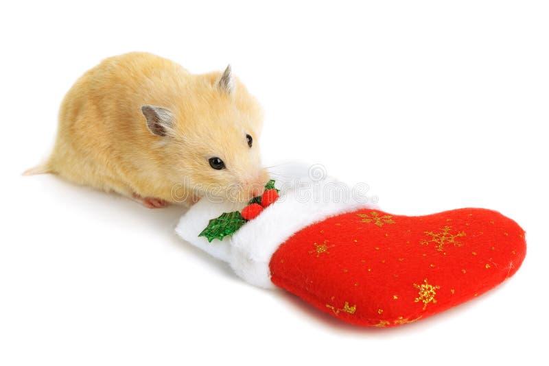 Hamster près de chaussette de Noël photo stock