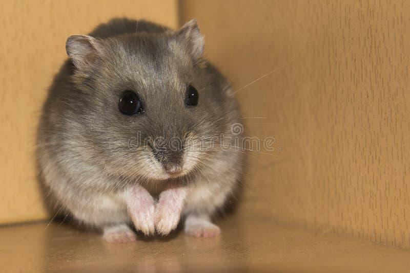 Hamster Prayer. Small Russian hamster looks like he's praying stock image