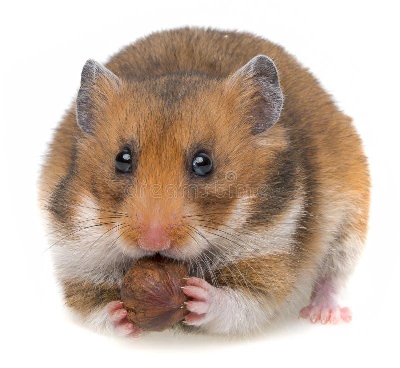 Hamster que come uma porca fotos de stock royalty free