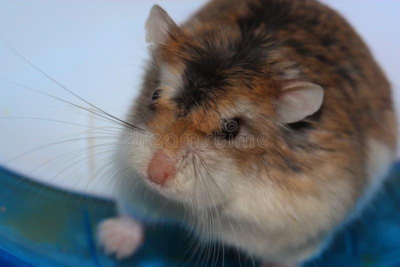 Hamster roborovski stock photography