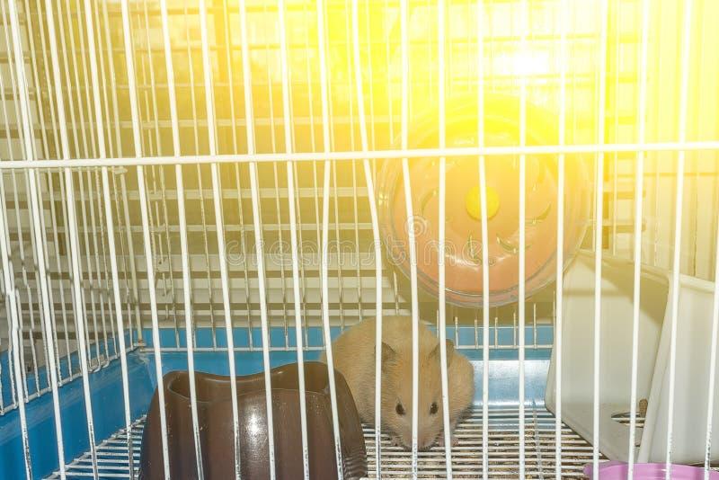Hamster rouge dans une cage et le coucher de soleil en dehors de la fenêtre photos stock