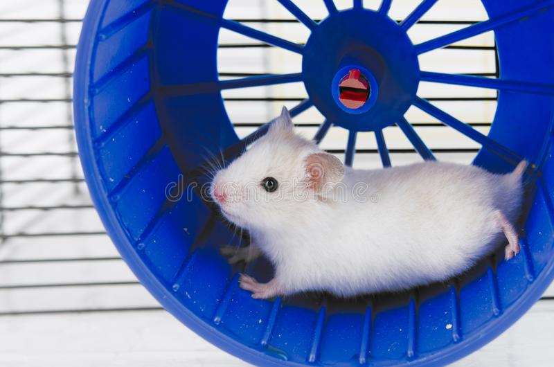 Hamster running royalty free stock photos