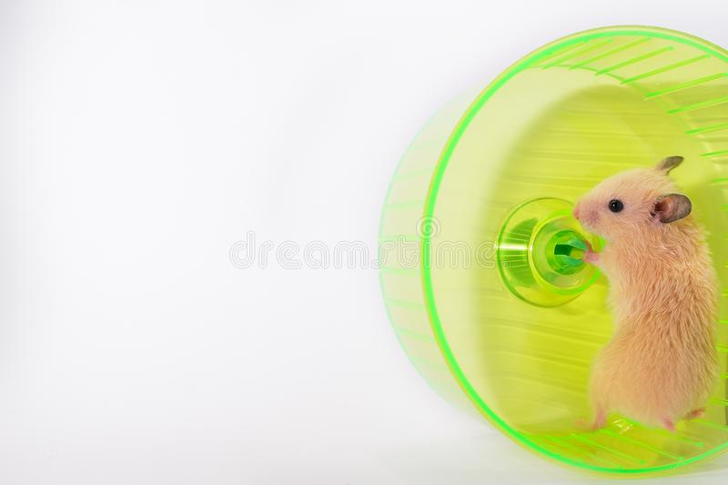 Hamster in running wheel, standing and looking funny royalty free stock photography