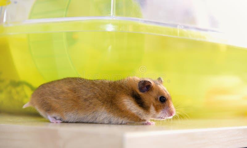 Hamster runs near his cage stock image