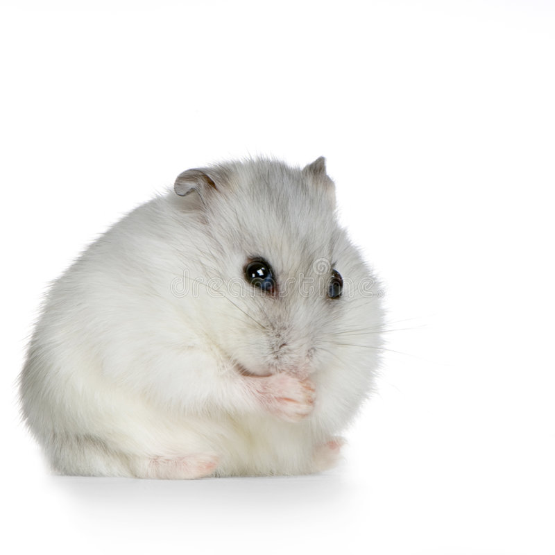 Hamster russe photo stock