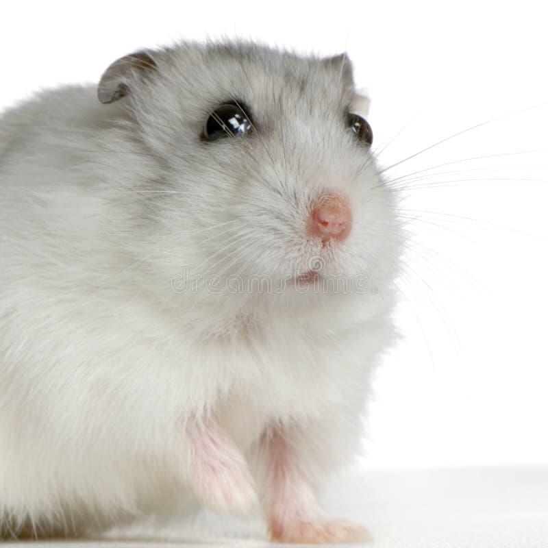 Hamster russe image libre de droits