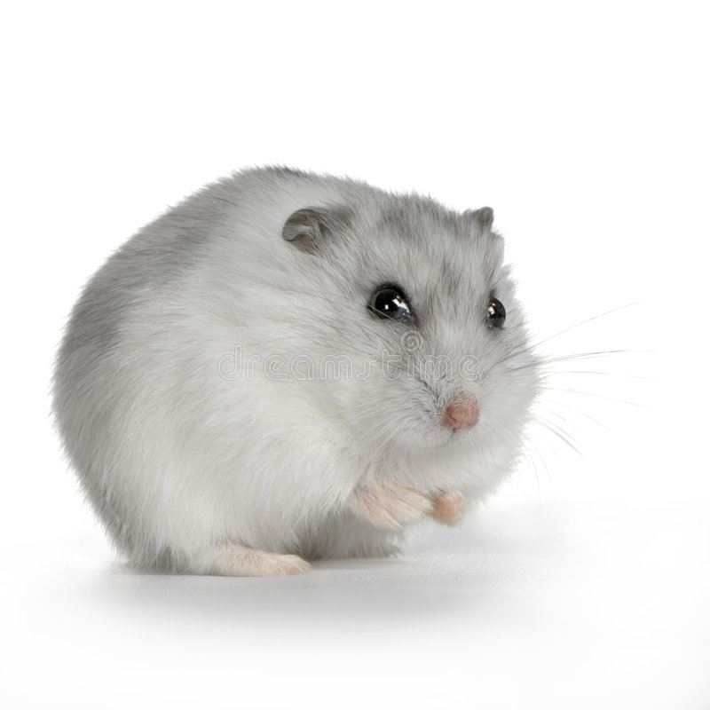 Hamster russe photographie stock
