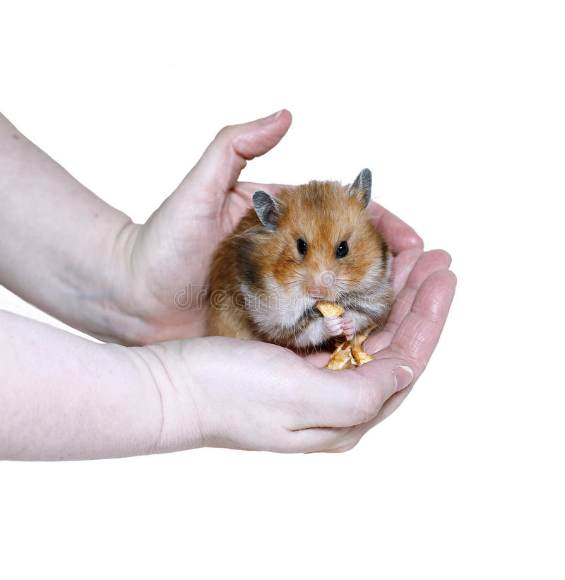 Hamster sírio de Brown que come, enchendo o alimento nos mordentes fotografia de stock