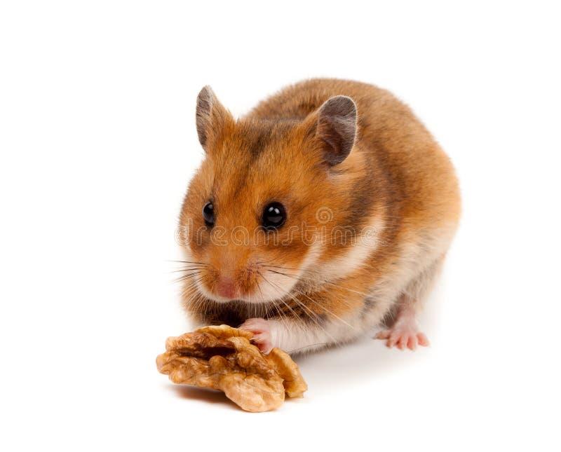 Hamster sírio Goldhamster (auratus do Mesocricetus) imagens de stock royalty free