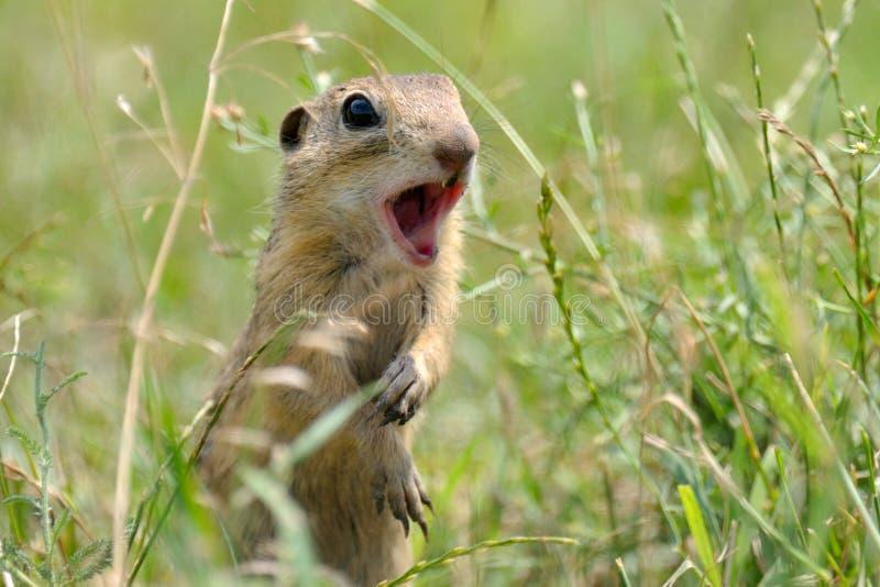 Hamster sauvage de Brown image stock