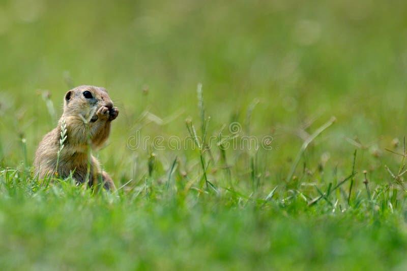 Hamster sauvage de Brown photos libres de droits