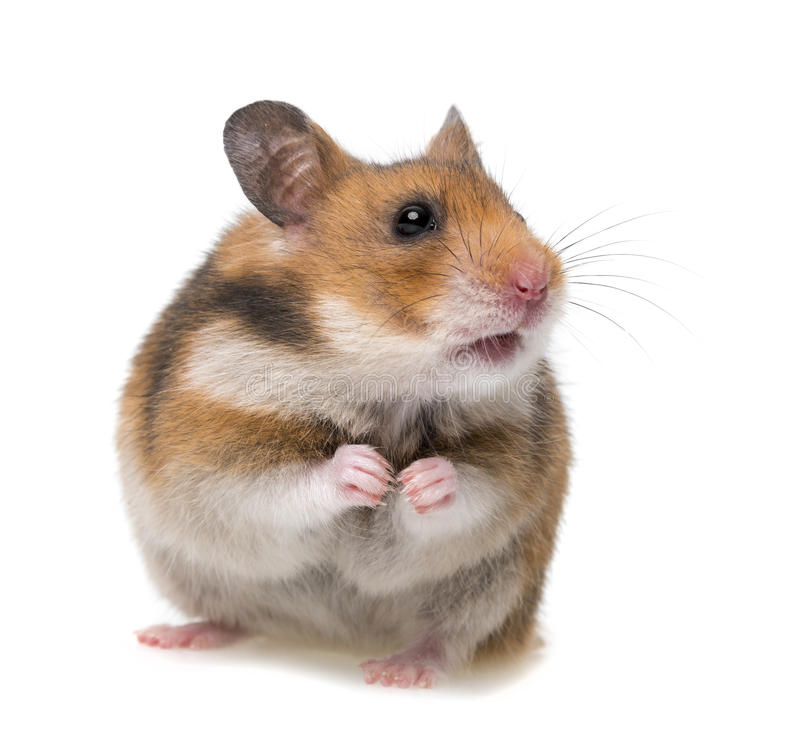 Hamster se reposant photographie stock libre de droits
