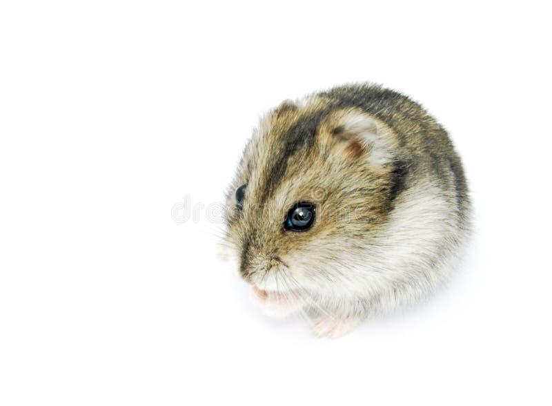 Hamster sibérien photographie stock libre de droits