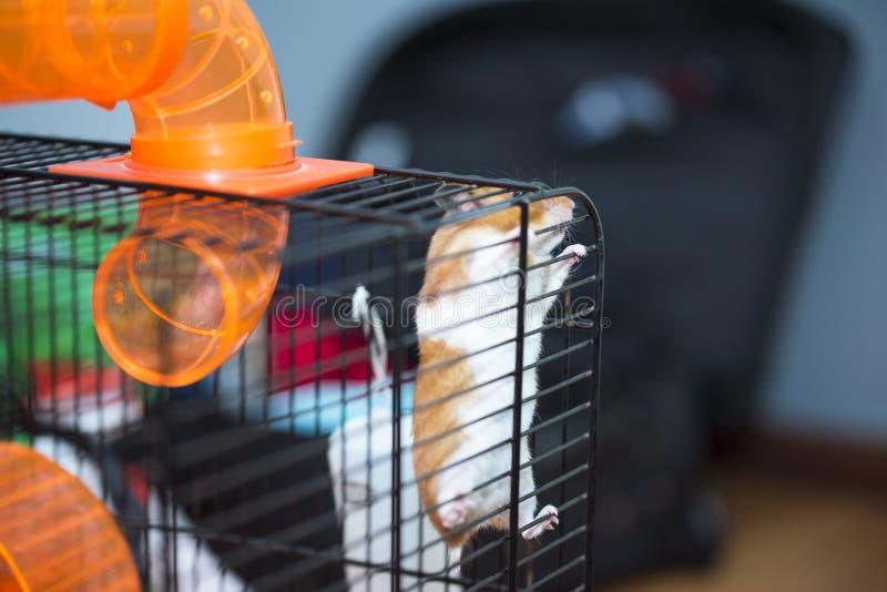 Hamster som försöker att fly från buren royaltyfria bilder
