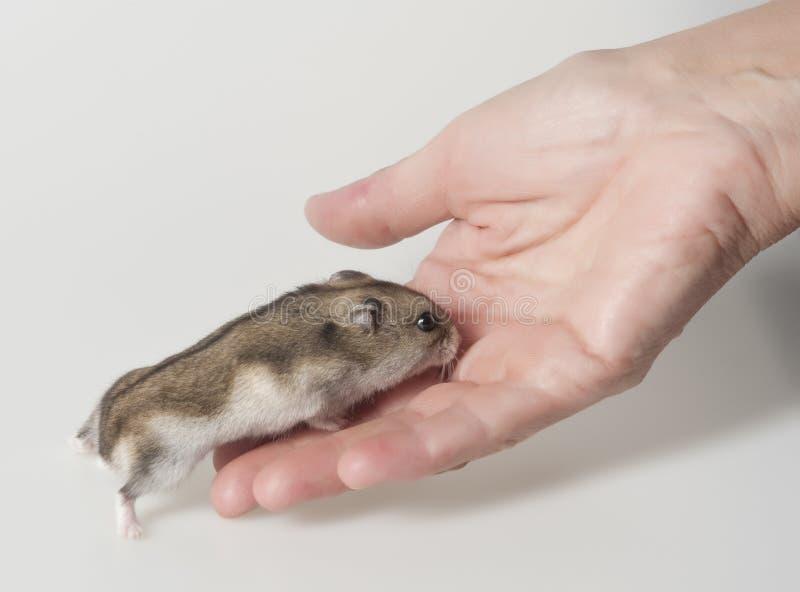 Hamster sur une paume photo libre de droits