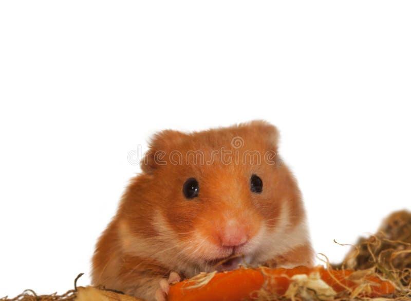 Hamster syrien photo libre de droits