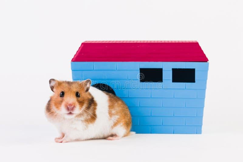 Hamster syrien avec la maison photographie stock libre de droits