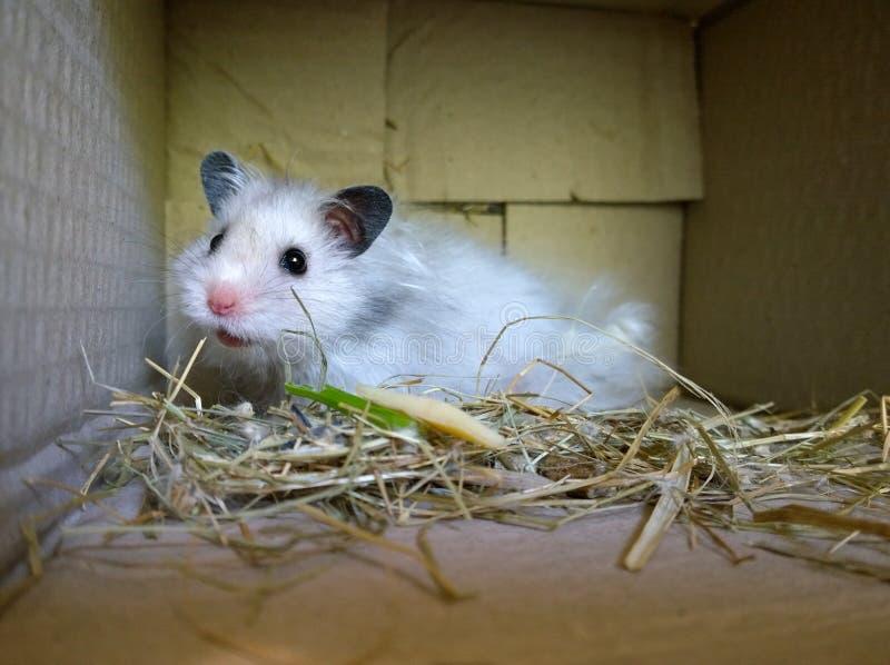 Hamster syrien blanc photo stock