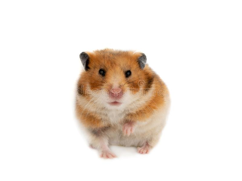 Hamster syrien d'isolement photos stock