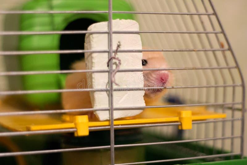 Hamster syrien dans une cage Hamster de visage rouge photographie stock