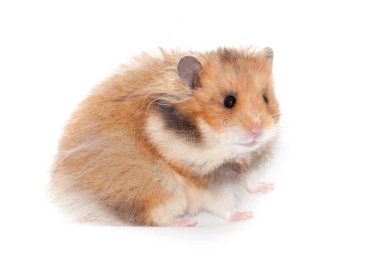 Hamster syrien drôle mignon fond d'isolement et blanc image stock