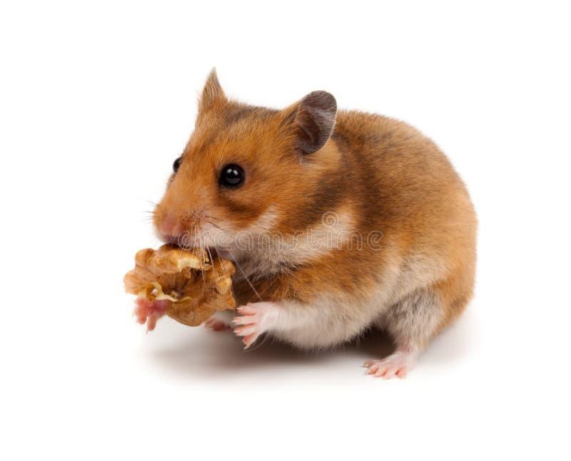 Hamster syrien, Goldhamster (auratus de Mesocricetus) photo libre de droits