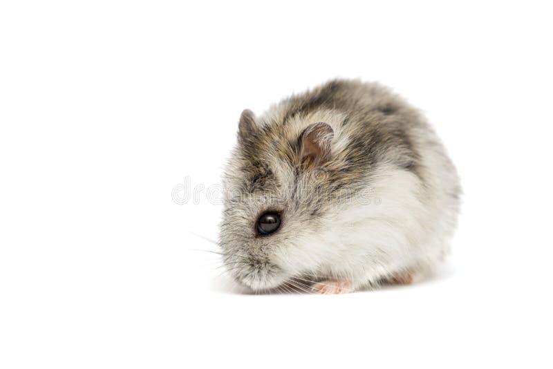 Hamster syrien sur un fond blanc Petit hamster de Jungar sur un fond blanc photo libre de droits