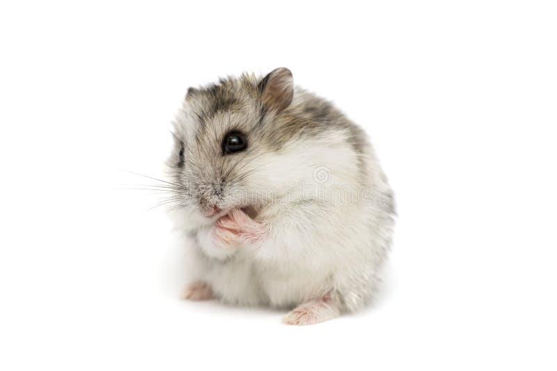 Hamster syrien sur un fond blanc Petit hamster de Jungar sur un fond blanc images stock
