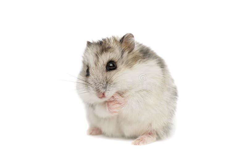 Hamster syrien sur un fond blanc Petit hamster de Jungar sur un fond blanc image stock
