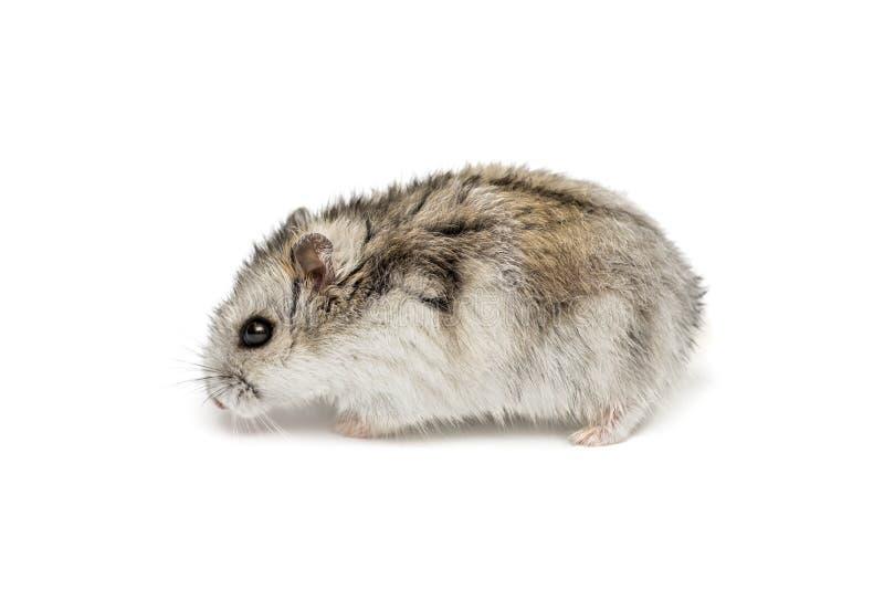 Hamster syrien sur un fond blanc Petit hamster de Jungar sur un fond blanc photo stock