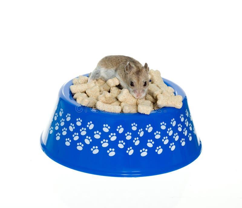 Download Hamster On Top Of Milk Bones In Dog Bowl Stock Photo - Image of eating, food: 20965442
