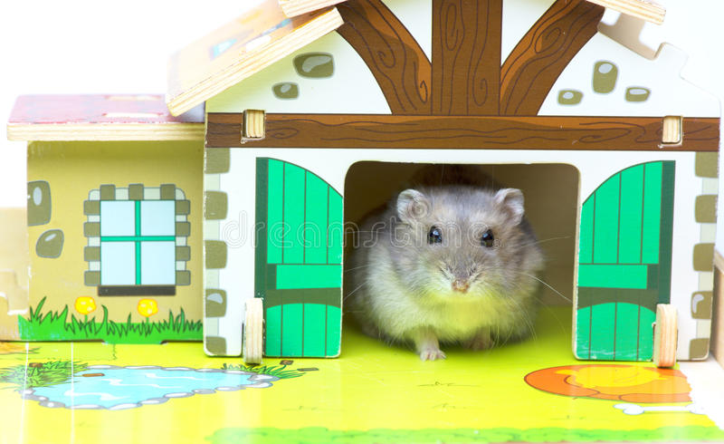 Hamster in the toy house royalty free stock photography
