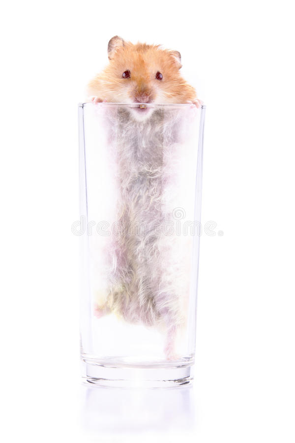 Free Hamster Trapped In A Glass Royalty Free Stock Images - 14964409
