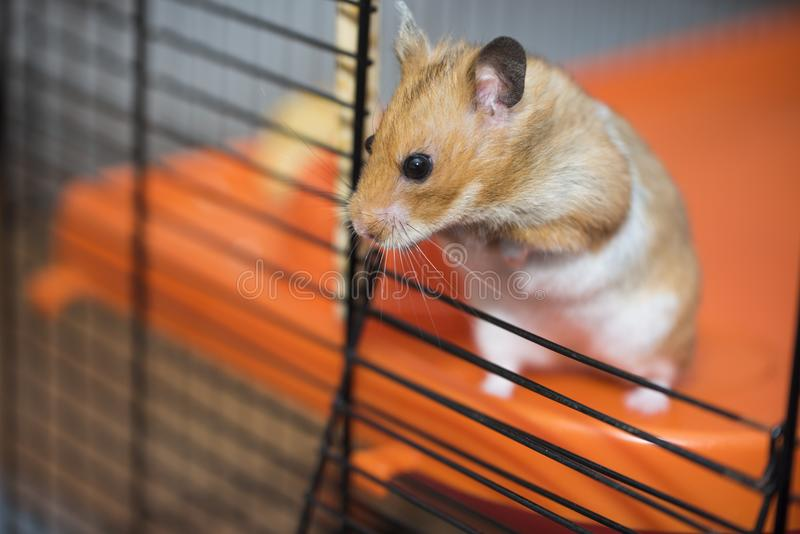 Brave hamster trying to escape from the cage. Hamster trying to escape from the cage, he dont care about consequences. He just want to be free. He just want to royalty free stock photos