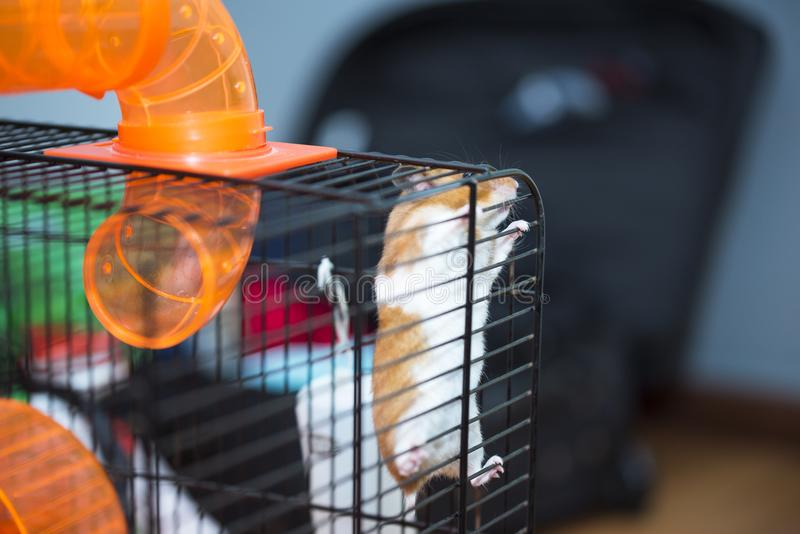 Hamster trying to escape from the cage. He dont care about consequences. He just want to be free. He just want to go back to the wilderness. He miss his royalty free stock images