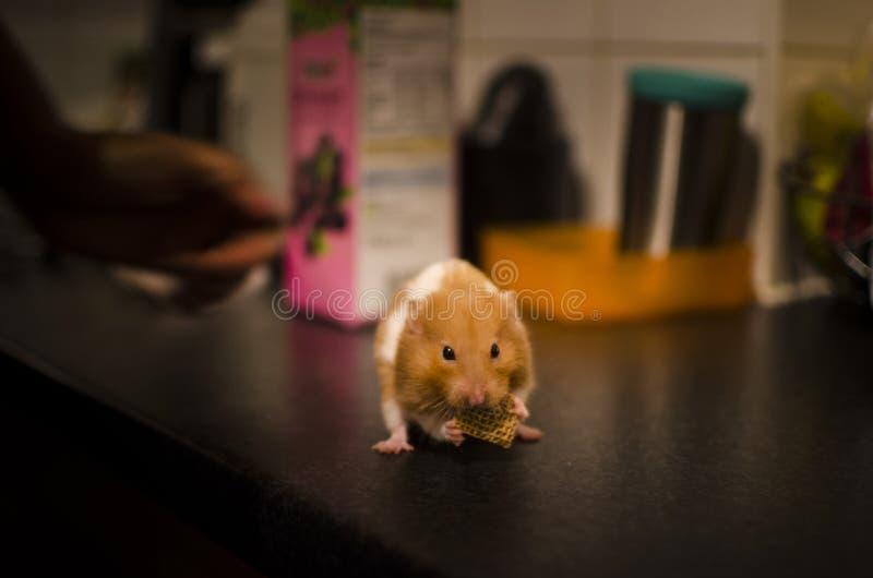 Hamster - um animal de estimação do bolso fotos de stock royalty free