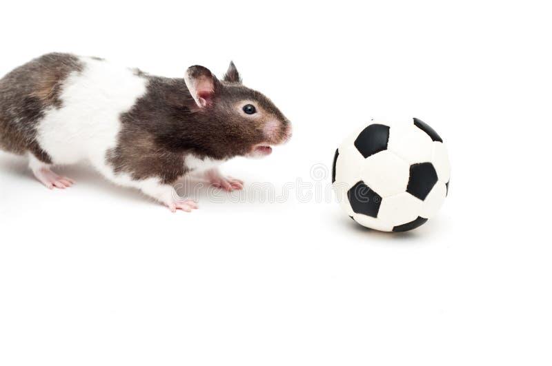 Hamster und Fußball stockfoto